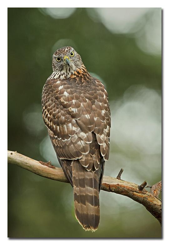 Havik - een havik <br /> ( jong mannetje)<br /> Kijkt over zijn rug om alles in de gaten te houden!<br /> <br /> Effies in het groot bekijken!<br