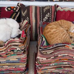 Slapende Turkse katjes