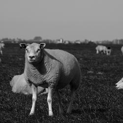 schaap zwart&wit