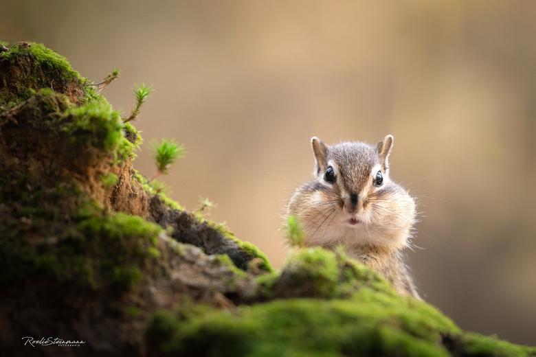 """Eye contact - De grondeekhoorntjes zijn nog flink eten aan het inslaan <img  src=""""/images/smileys/smile.png""""/> Zo schattig om te zien hoe ze hun wange"""