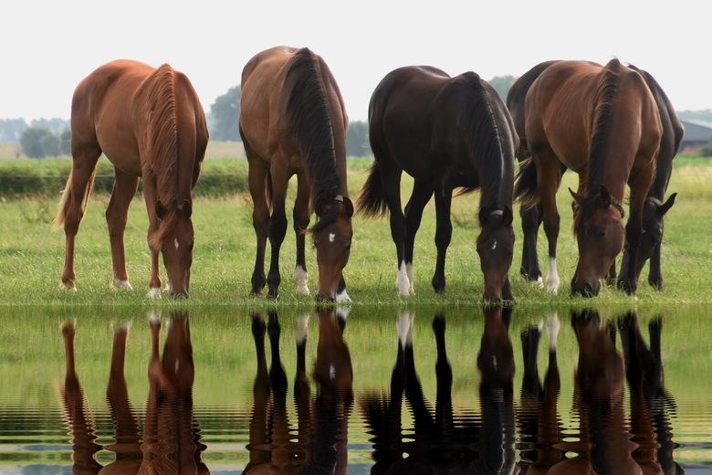 """Thirsty horses - Paarden drinken wel 30 tot 35 liter water per dag. Gelukkig hadden deze paarden water in overvloed <img  src=""""/images/smileys/wilt.pn"""