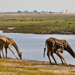 Giraffen in Chobe National Park