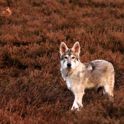 Little wolf on the prairie