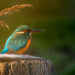 Kingfisher ( ijsvogel )
