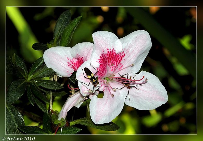 Bloem met bezoek... - Deze voor mij onbekende bloem, met onbekende insecten gefotograveerd in Nicaragua...<br /> <br /> Bedankt voor de fijne en eer