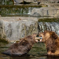 Badende beren