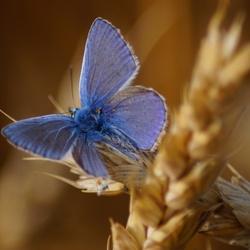 Een blauwe vlinder