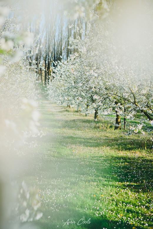 In volle bloei - Ondanks de aprilse grillen staan de Limburgse fruitbomen mooi in bloei. Voor mij is het een sprookjesachtig tafereel en dat heb ik oo