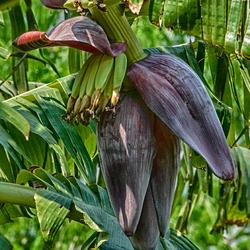 bananenbloem
