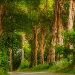 acacia bomen.........