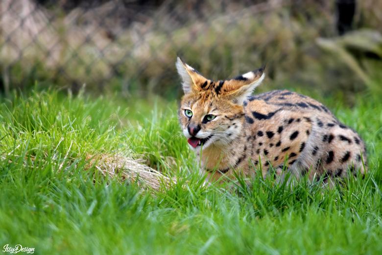 Hongerige jonge serval kat - De jonkies werden net gevoerd. Een mooi spektakel om te zien.