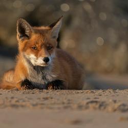 vos op het strand
