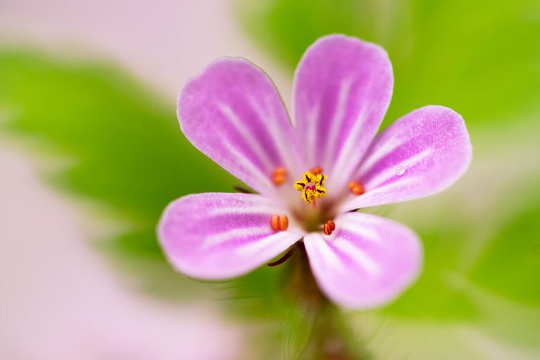 Pink Ribbon - Dit roze bloemetje is van het Robertskruid en mijn bijdrage voor de Pink Ribbongroep.
