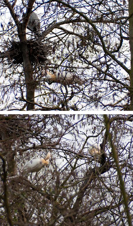 Lepelaars - Niet een hele mooie foto. Wel heel bijzonder te zien dat lepelaars, samen met een kolonie reigers overigens, elk jaar weer nestelen in bom