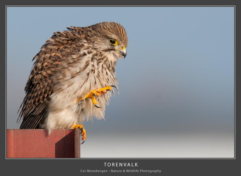 Torenvalk (vrouw) - Roofvogels op paaltjes zijn er meer dan genoeg in de polder dus de uitdaging is dan om het net even anders te hebben. Deze dame wi