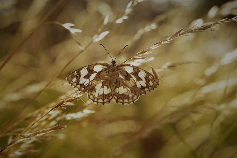Galathea - Een dambordje die in het ochtendlicht de vleugels opensloeg om lekker op te warmen.