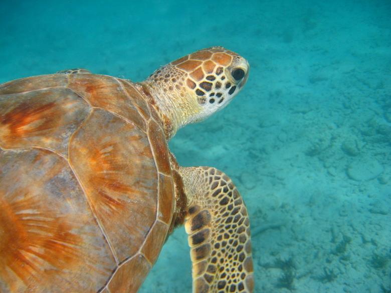 Zeeschildpad up-close - Tijdens mijn vakantie naar curacao heb ik met zeeschildpadden gesnorkeld. Vaak kon ik heel dichtbij komen, zelfs zo dichtbij d