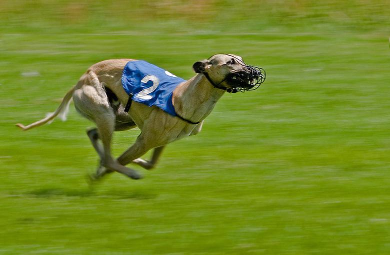 greyhound rennen