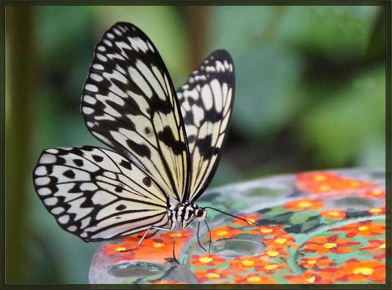 vlinder - afgelopen zaterdag gemaakt in Vlinders aan de Vliet.
