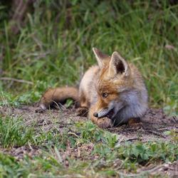 jong vosje is verlegen