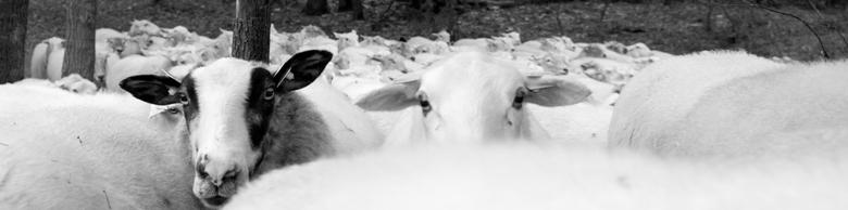 heideschapen - schapen op de hei