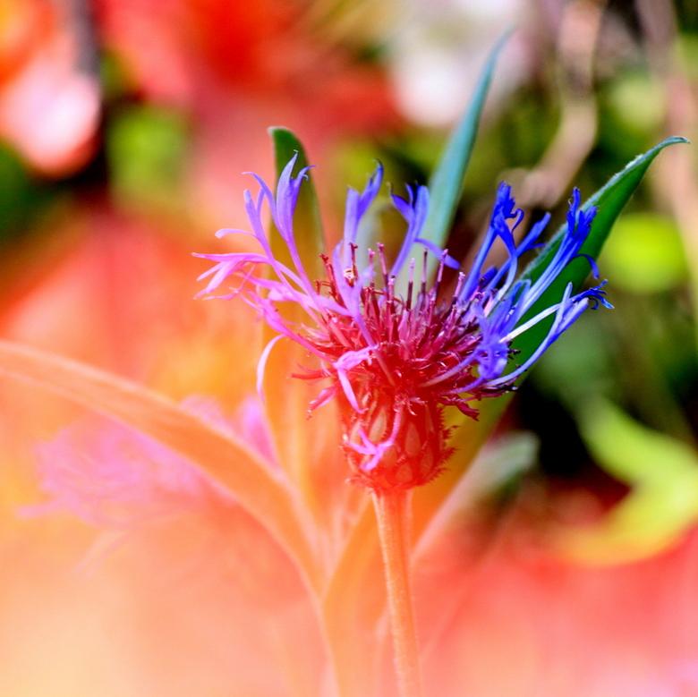 Kleurenspel - Een mooie foto van een paars/blauwe bloem, gefotografeerd door een rode bloem heen. Dit geeft de foto een warm effect.