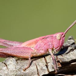 Mr Pink: de Roze Sprinkhaan