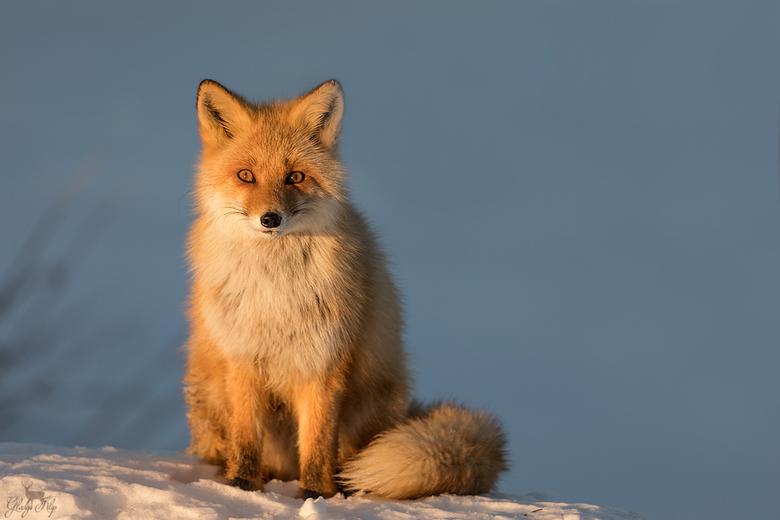 Sunset fox - Dit vosje heb ik gefotografeerd in de winter in Japan. Het was al laat en ik stond op het punt om te vertrekken toen deze vos opeens tevo