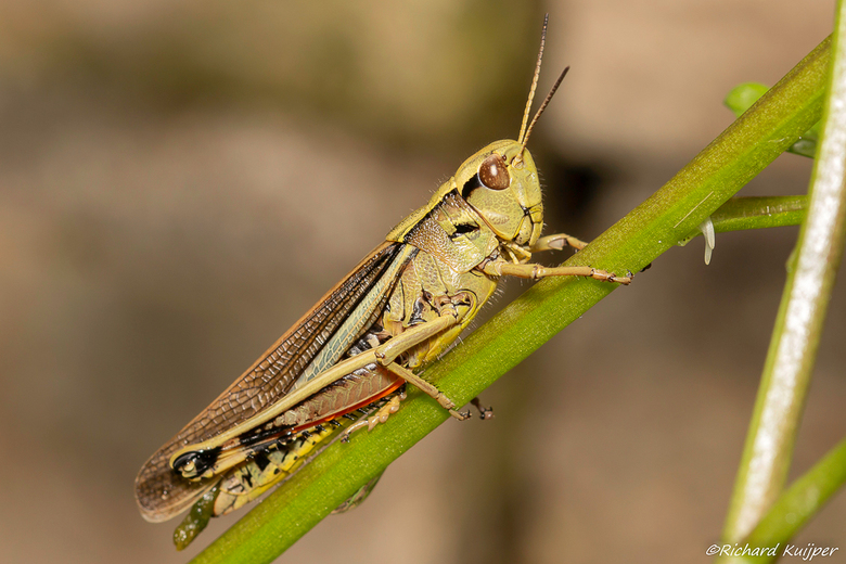 Moerassprinkhaan (Stethophyma grossum)  - De moerassprinkhaan (Stethophyma grossum) is een rechtvleugelig insect uit de familie veldsprinkhanen (Acrid
