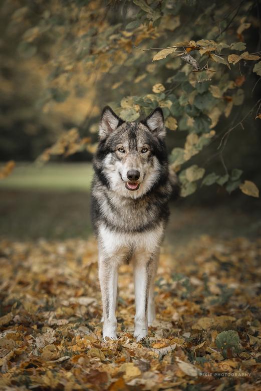 Wolfhonden fotoshoot - Een fotoshoot in prachtige herfstkleuren met een groep schitterende wolfhonden.