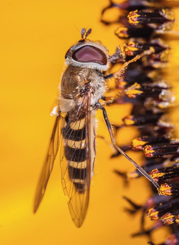 Zzzzweeefff - Een zweefvlieg rustend op een zonnebloem