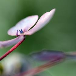 Herfst hortensia