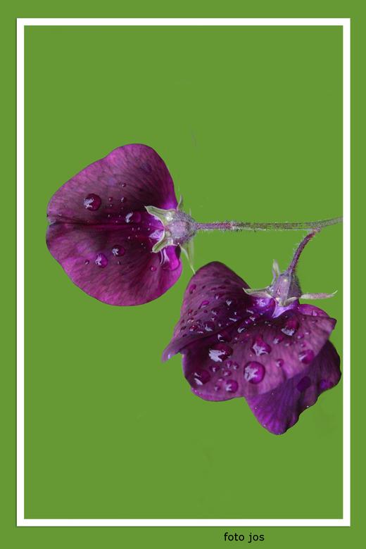 Paarse bloem - Zomaar een bloemetje ergens in de tuin gezien.