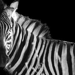 Extreem zwart wit zebra