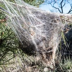 Processie rupsen nest