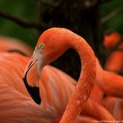 Rode flamingo.