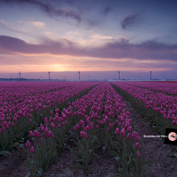 Pink sky above pink tulips