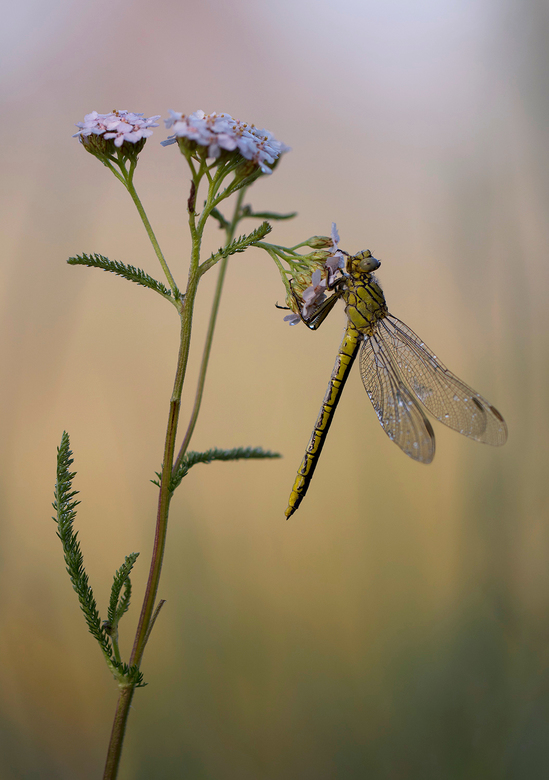 morgenstimmung - Het was een lastig macroseizoen wat libellen en vlinders betreft. Veel droogte weinig dauw en veel wind. Ik klaag niet hoor heerlijke