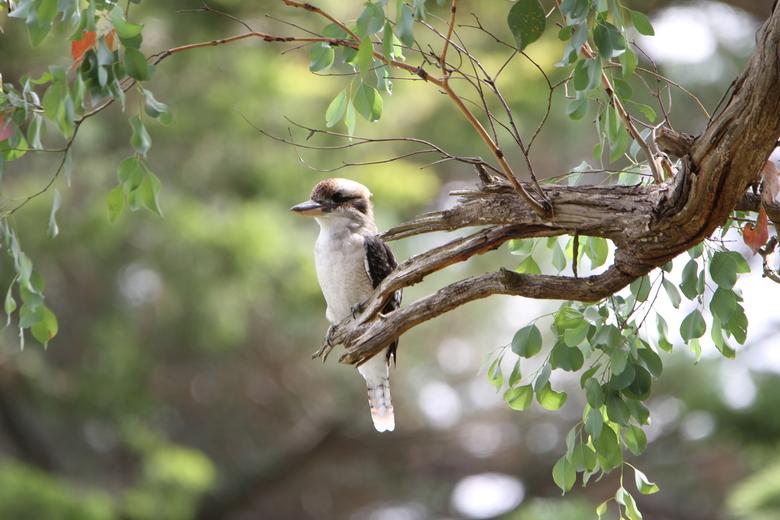 Kookaburra -
