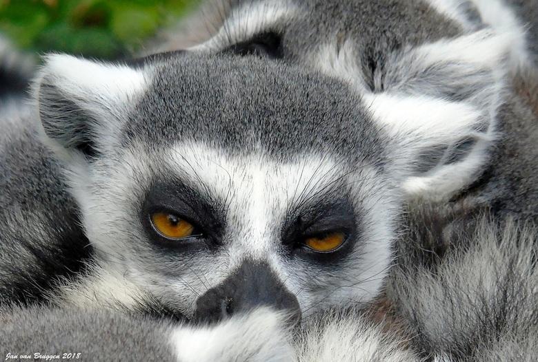 when I slap my fingers ... you fall asleep - In vogelpark Avifauna tref je ook het Madagaskargebied aan. In dit gedeelte van het park leven halfapen z
