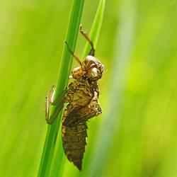 Larve van een Libelle