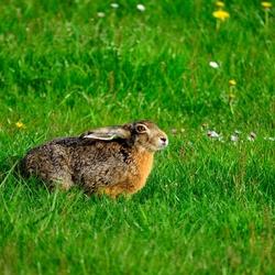 Een haas (lepus europaeus)