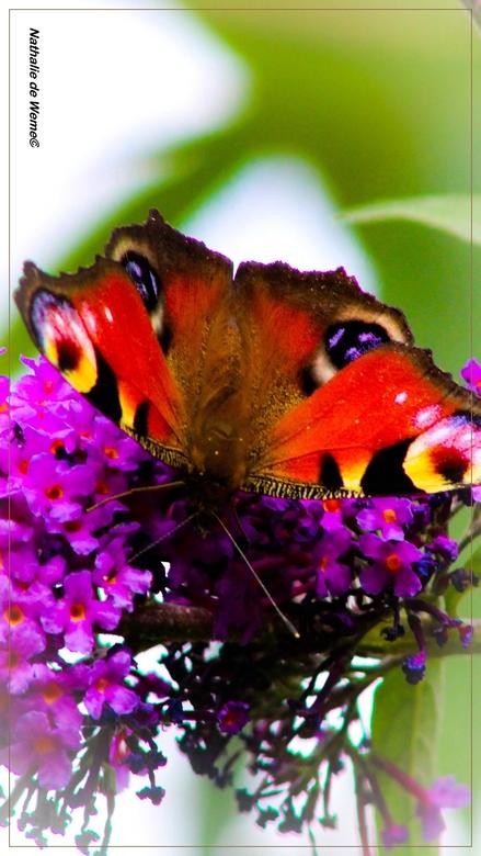 dagpauwoog Vlinder - Deze dagpauwoog vlinder wilde graag op de foto