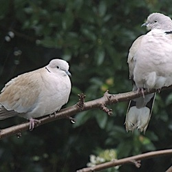 duifjes