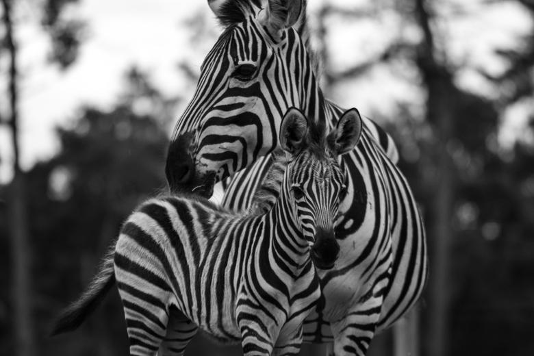 Zebra Zwart Wit - Moeder en Veulen.