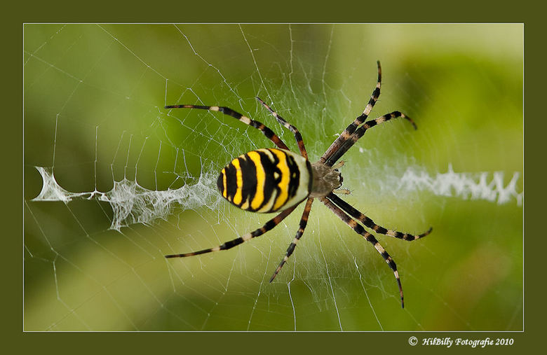 Tijgerspin - de opname is van vanmiddag ,<br /> genomen in de Heemtuin te Muntendam .<br /> Had niet gedacht deze spin ooit voor m&#039;n camera te