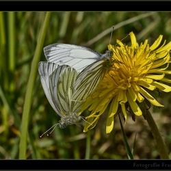 Frühling Schmetterling