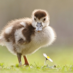 If it Walks like a Goose and Talks like a Goose….