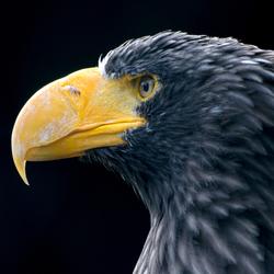 avifauna roofvogel