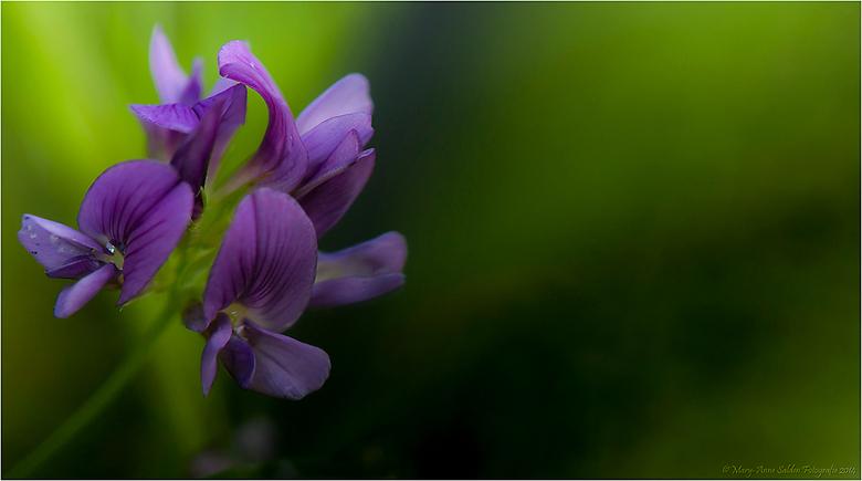 Purple Beauty - Hallo allemaal,<br /> <br /> Weer een uppie van mij...<br /> <br /> Deze is ook van afgelopen zaterdag...en kon ik deze prachtige